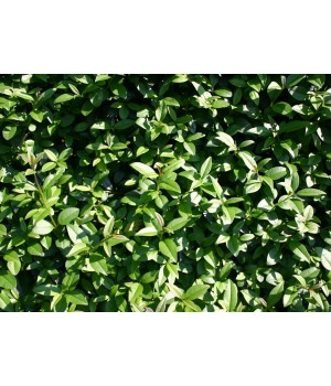 Бирючина обыкновенная Ligustrum vulgare