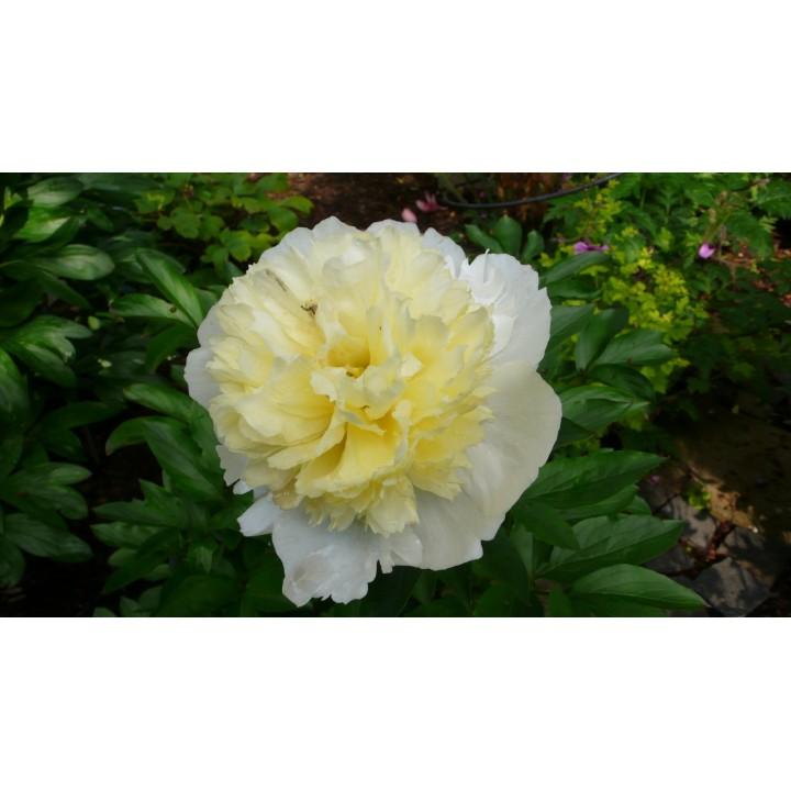 Пион травянистый молочноцветковый