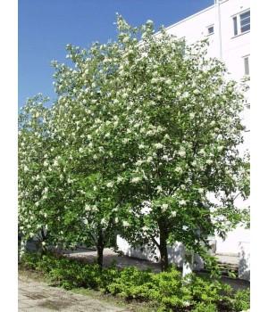Рябина шведская промежуточная (Sorbus intermedia)