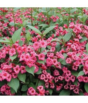 Вейгела цветущая Бристоль руби