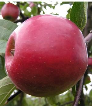 Яблоня Коваленское