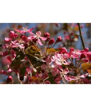 Яблоня декоративная Невиль Копеман
