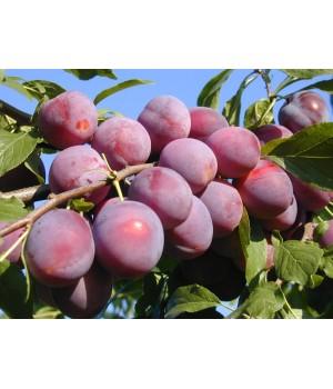 Слива «Алыча персиковая»