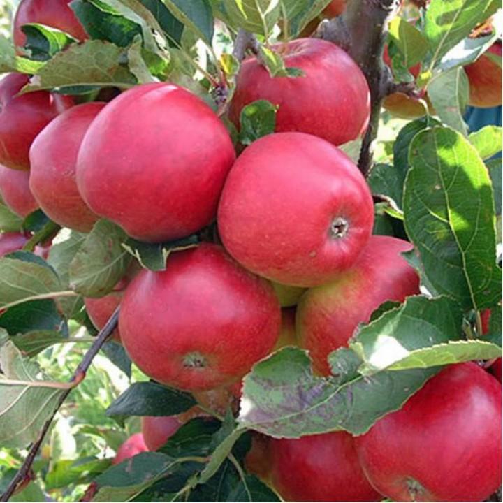 Яблоня Вишневое купить саженцы в нашем интернет магазине