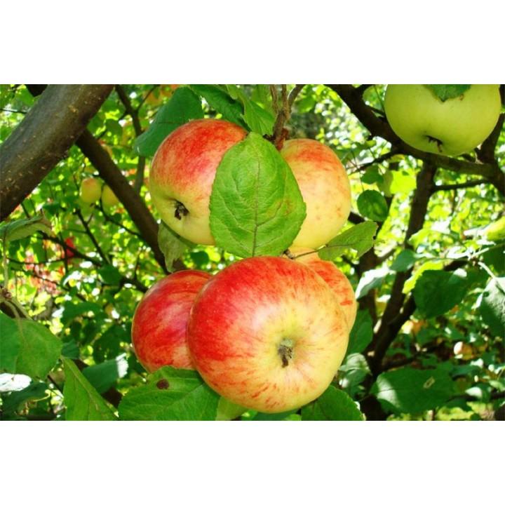 Яблоня Штрифель купить в питомнике растений GreenPoint