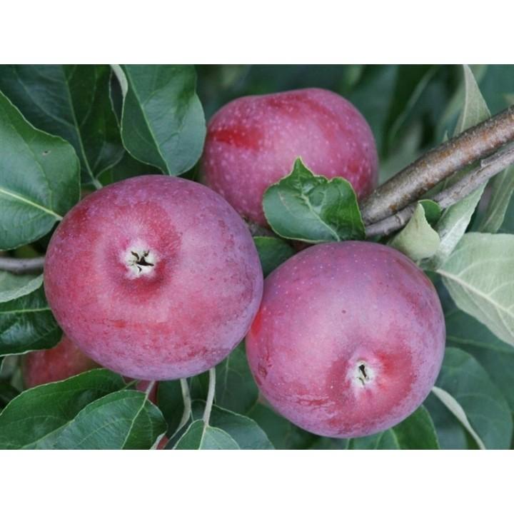 Яблоня Лобо саженцы на нашем сайте