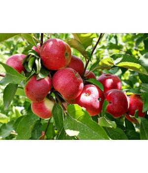 Яблоня «Веньяминосвкое»