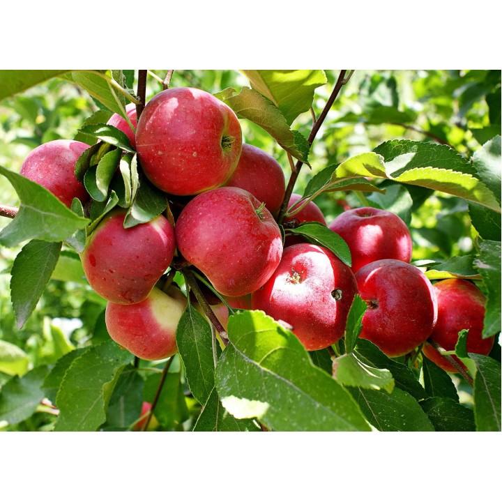 Яблоня «Веньяминосвкое» купить саженцы в интернет магазине GreenPoint