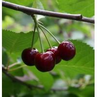Вишня «Превосходная Веньяминова»