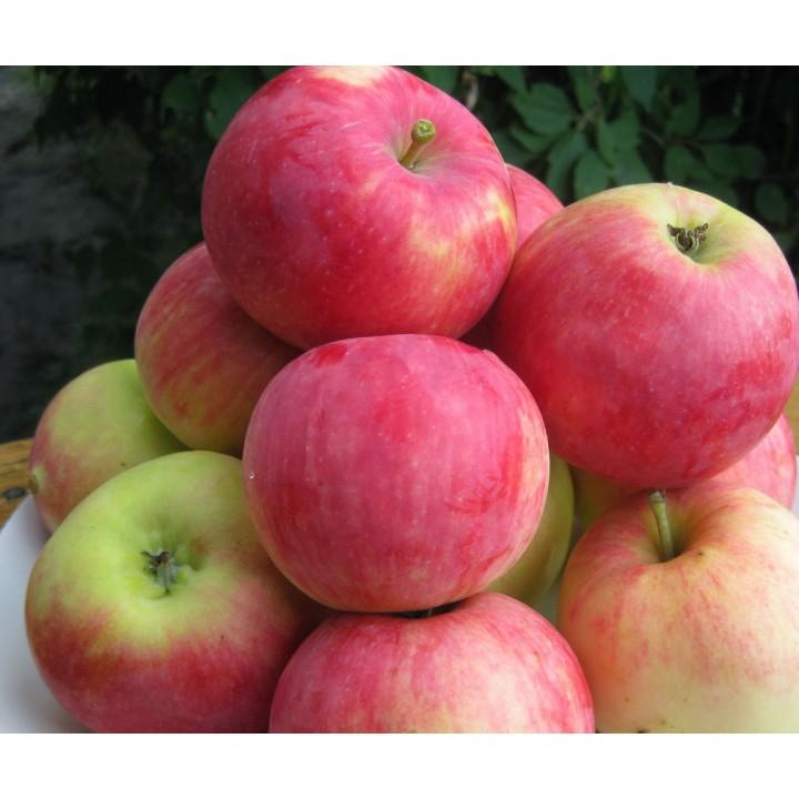 Яблоня Мантет купить саженцы по лучшей цене в Москве