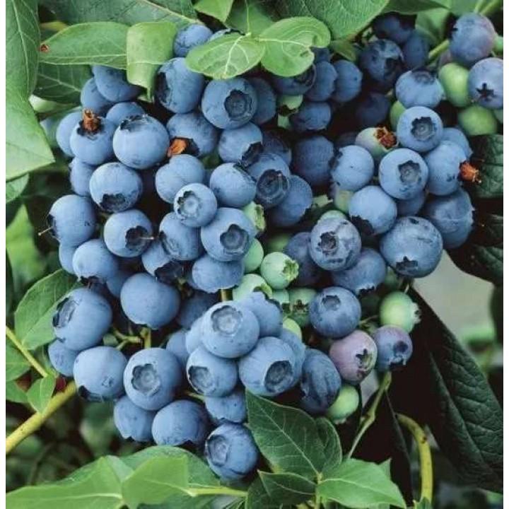 Голубика садовая Норткантри