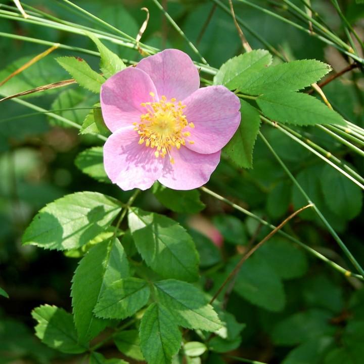 Роза каролина