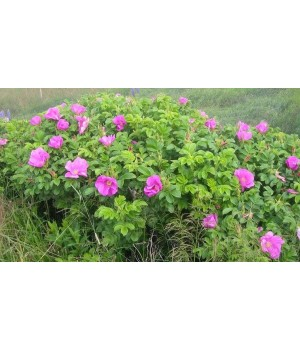 Роза ругоза(шиповник)