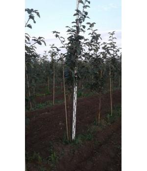 Рябина Мужо (Sorbus mougeotii)