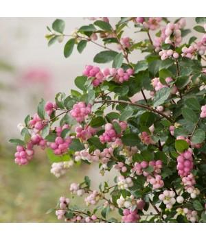 Снежноягодник розовый