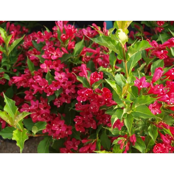 Вейгела цветущая Ред принц