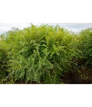 Вяз мелколистный Ulmus parvifolia Карагач