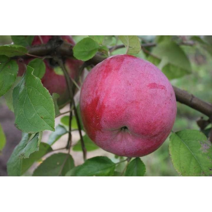 Яблоня Брянское Алое