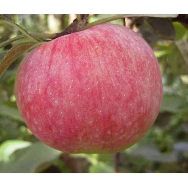Яблоня Конфетное