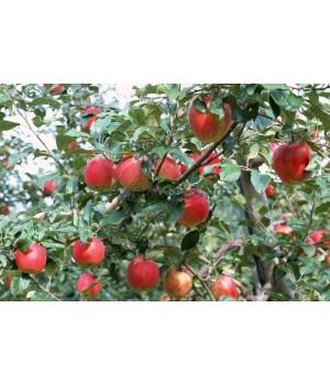 Яблоня Дарена