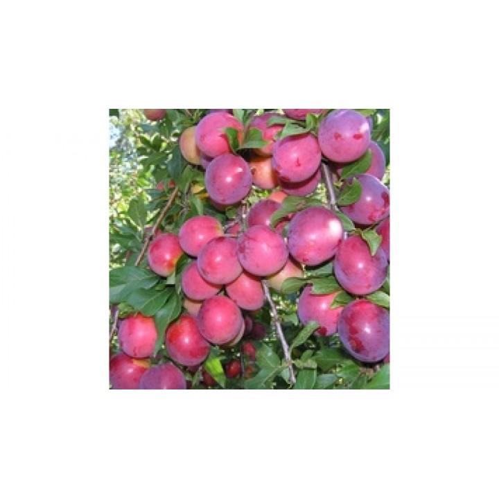 Слива «Алыча колоновидная» купить саженцы в питомнике растений GreenPoint