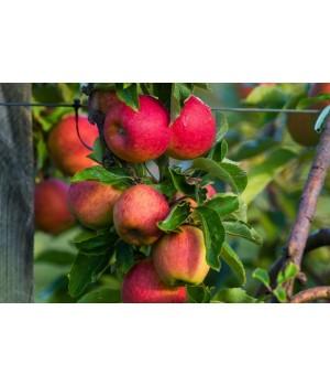 Яблоня «Бельфлер»