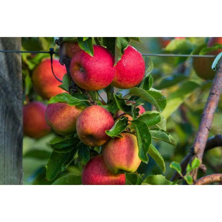 Яблоня «Бельфлер» купить саженцы в питомнике растений GreenPoint