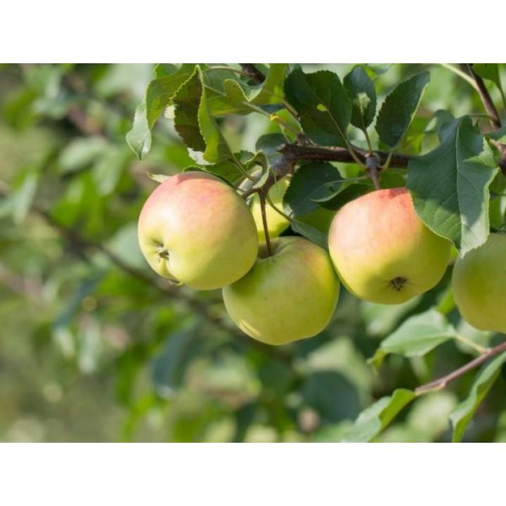 Яблоня Имрус купить саженцы в нашем магазине по лучшим ценам