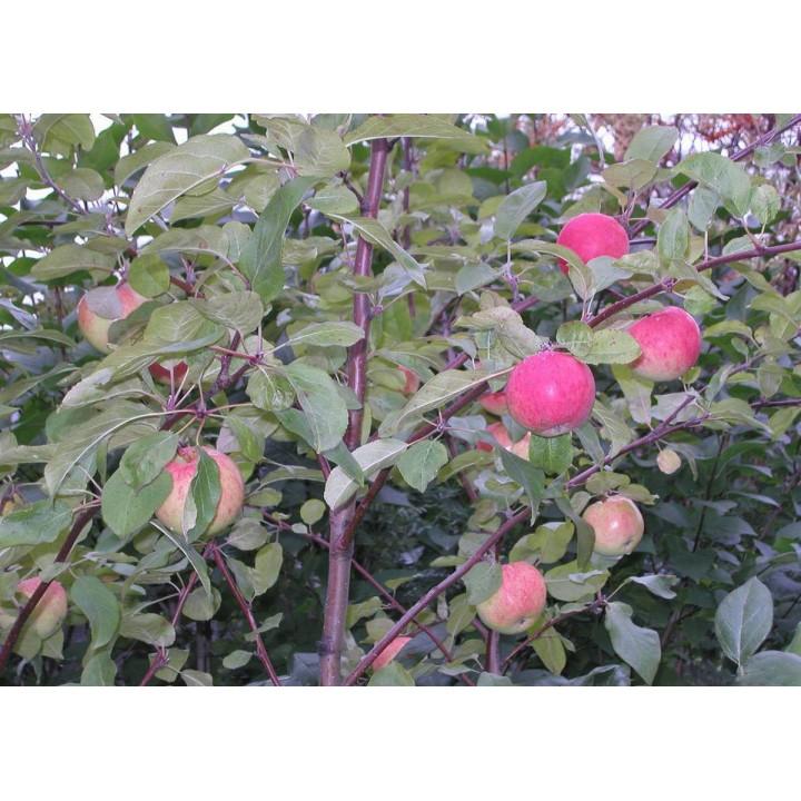 Яблоня Легенда купить саженцы в нашем питомнике растений
