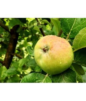 Яблоня «Мартовское»