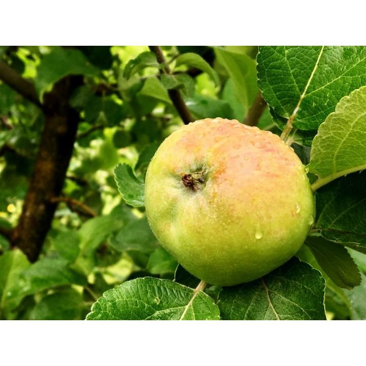 Яблоня «Мартовское» купить саженцы в питомнике растений GreenPoint