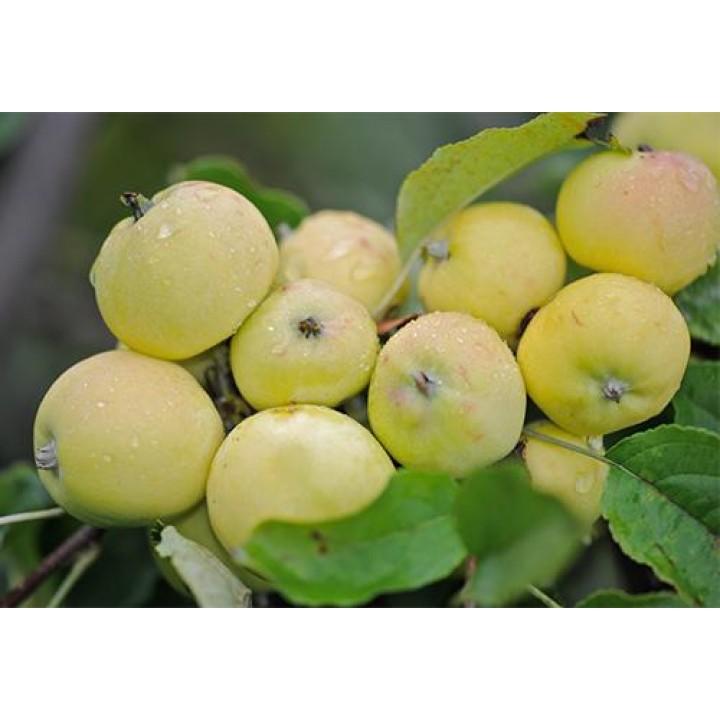 Яблоня Китайка Золотая купить саженцы в нашем магазине